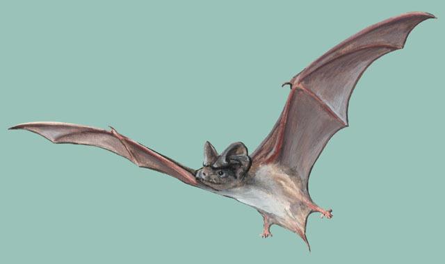 Free Tailed Bat