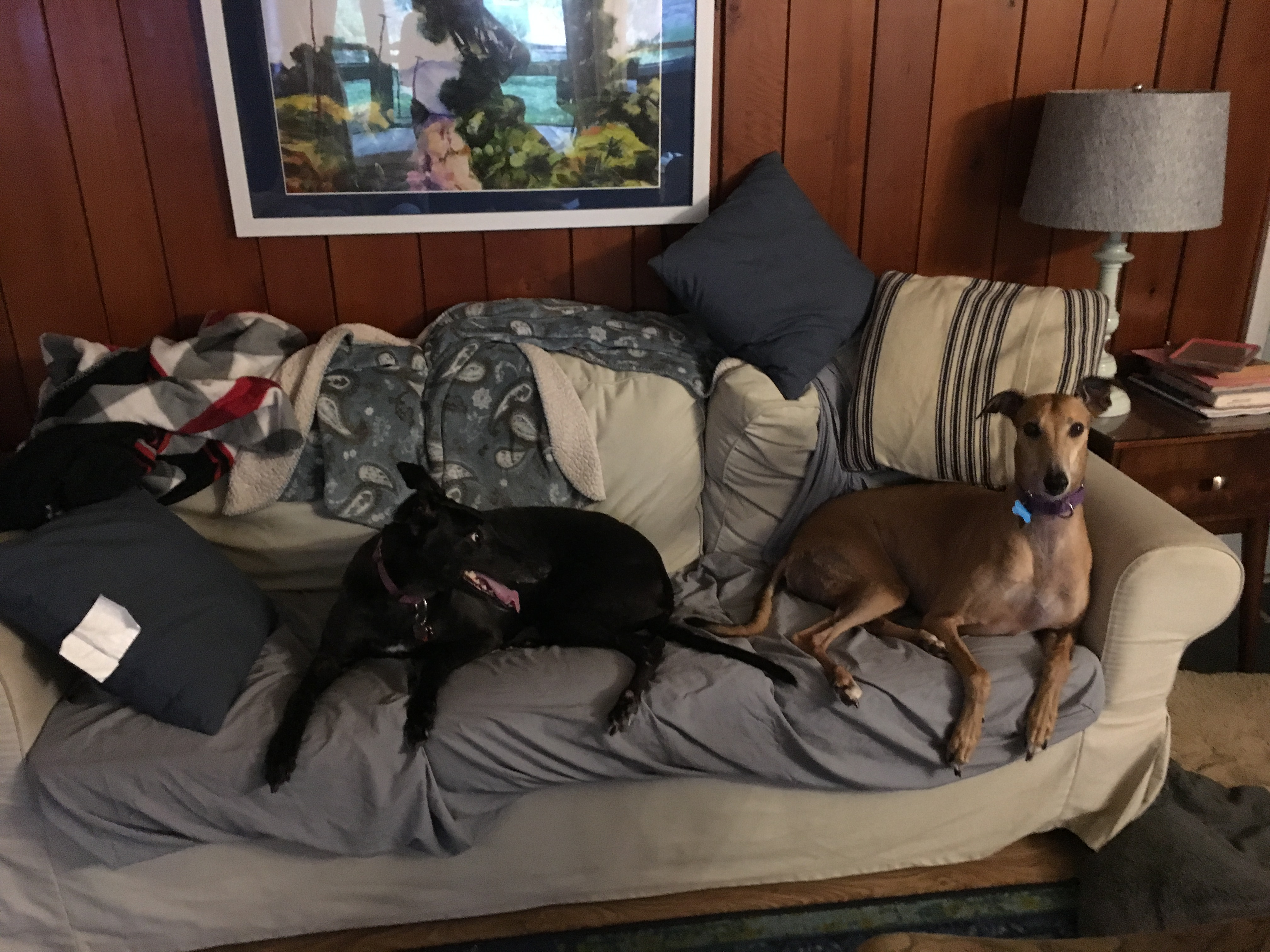 Lark and Zoey, greyhounds who live on Randolph Circle