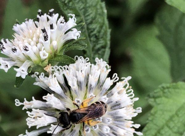 Bee on Salt Pepper Bush