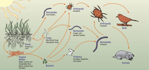 Diagram of the trophic relationships (food web) in the soil ecosystem